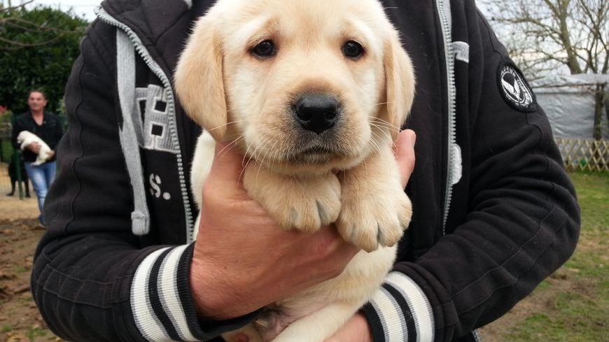 Plan De Travail Labrador Bleu : Labradors et golden retrievers un élevage d exception en