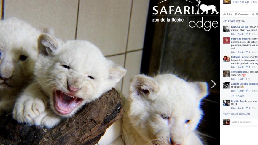 naissance de trois petits lions blancs au zoo de la fl che. Black Bedroom Furniture Sets. Home Design Ideas