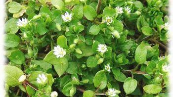 Les experts jardin comment se d barrasser du mouron - Comment se debarrasser du liseron au jardin ...