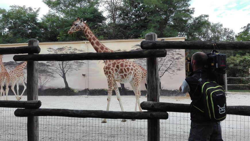le girafon du zoo de la fl che est mort. Black Bedroom Furniture Sets. Home Design Ideas
