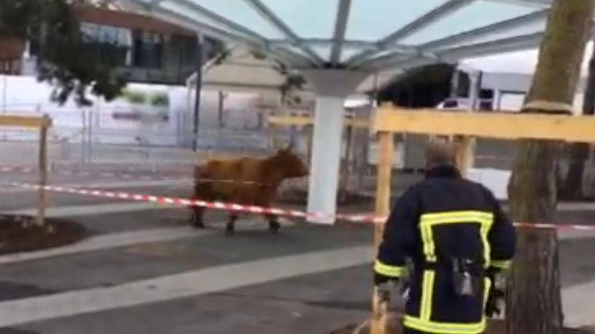Video paris une vache se fait la belle au salon de l for Vache salon de l agriculture