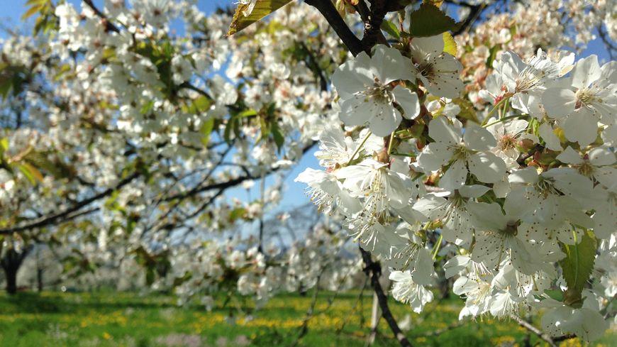 fougerolles les cerisiers sont en fleurs. Black Bedroom Furniture Sets. Home Design Ideas