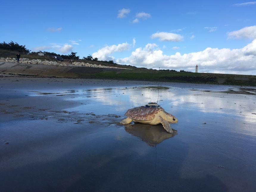 La tortue caouanne a été équipée d'une balise sur sa carapace. Cela va permettre de la suivre quelques mois, et de mieux comprendre le comportement méconnu des juvéniles de cette espèce. - Radio France
