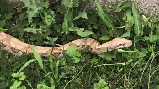 Le boa constrictor retrouvé à Vaudevant en Ardèche faisait 1,80 mètre de long.
