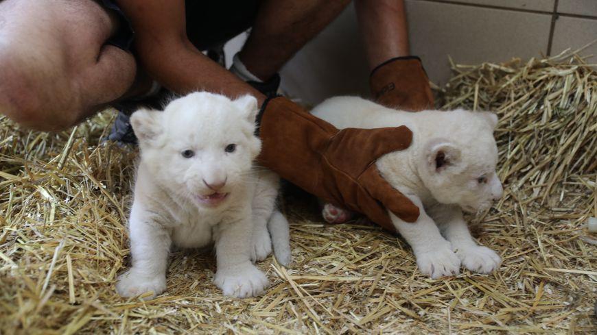 les deux lionceaux blancs du zoo de la fl che ont d sormais un nom. Black Bedroom Furniture Sets. Home Design Ideas