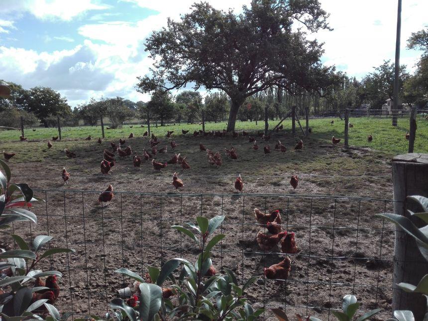 Les poules pondeuses de Vanessa Hervé à Saint Jean d'Assé - Radio France