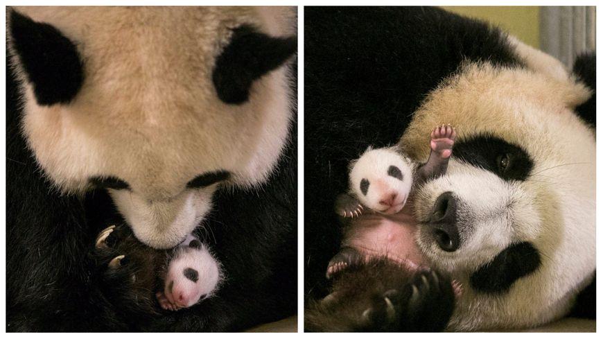 video le b b panda du zoo de beauval f te son premier mois d 39 existence. Black Bedroom Furniture Sets. Home Design Ideas